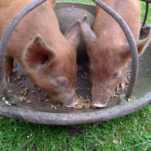 Tamworth piglets eating from an old pig trough