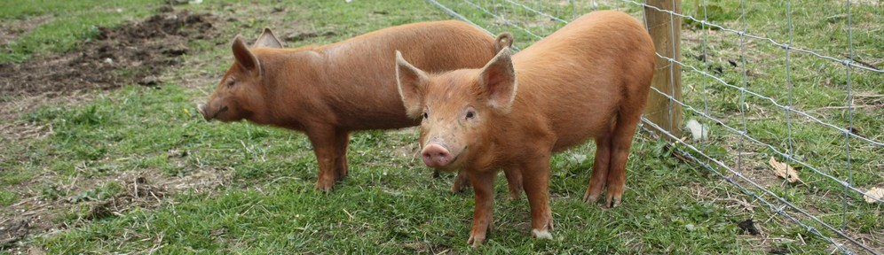 Tamworth piglets at Brickyard Farm