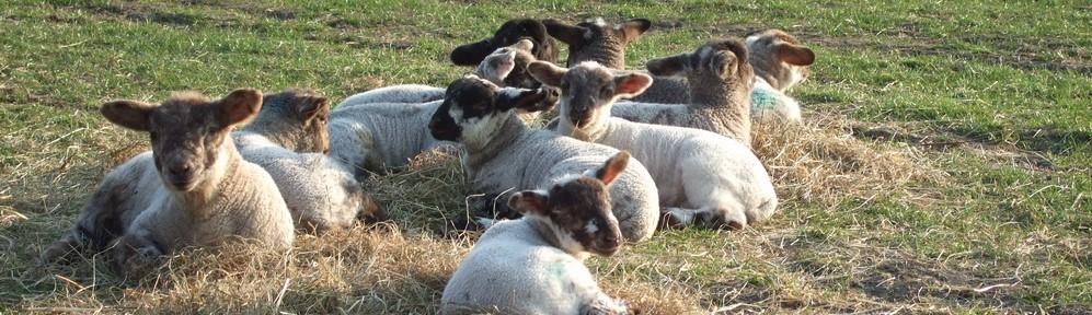 Lambs at Brickyard Farm